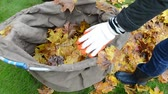 rest : woman hands gloves load colorful tree leaves in bag. autumn works in garden. Stock Footage