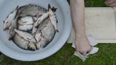 salário : man hands salt freshly caught raw bream tench roach fish in plastic plate dish on green grass. food prepare. Stock Footage
