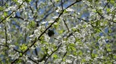 copulate : Green chafer bug beetle couple mate season on white blooming fruit tree in spring.