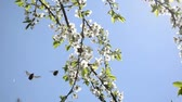 copulate : chafer beetles bugs fly and fruit tree twig blooms move in wind on background of blue sky. Stock Footage