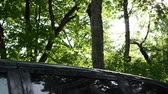 drench : Big rainfall rain water drops fall on car roof and illuminated maple tree branches move in wind.