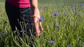 korenbloemen : handpalm borstels bluebottle Centaurea C veld over bloesem Stockvideo