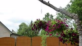 piekne : Pots with red petunia flowers hang on tree branch in garden. Wideo