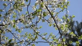 copulate : chafer beetle bug fly and fruit tree twig blooms move in wind on background of blue sky.