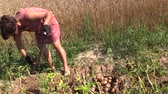 olericulture : Peasant woman harvest dig eco potato with fork in farm land. Right side sliding shot on Canon XA25. Full HD 1080p. Progressive scan 25fps. Dolly camera movement.