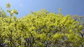 freshness : Spin view of green maple tree branches move in spring wind over blue sky. Stock Footage