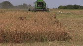 heavy : SIRVINTOS, LITHUANIA - August 3, 2014: Dry pease plants and combine harvest field on August 3, 2014 in Sirvintos, Lithuania. Stork birds. Zoom out shot on Canon XA25. Full HD 1080p. Stock Footage