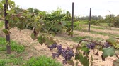 entwine : blue organic ripe grape plantation branch entwine on stake outdoor. Sliding Shot . Full HD 1080p. Dolly camera movement. Stock Footage