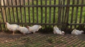 биологический : white chicken in agriculture landscape along the fence farm outdoor. Sliding shot. Full HD 1080p. Progressive scan 25fps. Dolly camera movement.