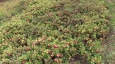 cowberry : Cowberry lingonberry berry plants grow in garden farm plantation. Healthy natural food. Sliding under shot on Canon XA25. Full HD 1080p. Progressive scan 25fps. Tripod.