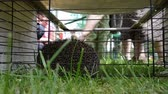 spiked : Hedgehog animal closeup in captivity cage and people touching it. Stock Footage