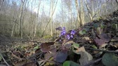 first : first early spring flower hepatica grow in the forest between the dry leaves. 4K UHD wide angle shot. Stock Footage