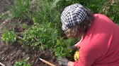 handheld : Farmer woman weeding strawberry plants in garden. Seasonal rural works. Handheld shot. Full HD 1080p. Progressive scan 25fps.