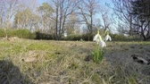 kar taneciği : beautiful spring flowers blooms snowflake snowdrop leucojum vernum grow in park. Wide angle shot. 4K UHD. Stok Video