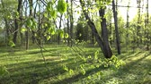 first : Linden tree twig leaves and buds move in wind in spring season. Steel fence in park. Static shot. 4K UHD video clip.