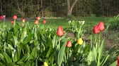 springtime : Closeup of colorful tulip flowers grow in sunny green spring park, garden. Fruit trees in garden. Zoom out shot. 4K UHD video clip.