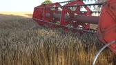 winnowing : BIRZAI, LITHUANIA - AUGUST 18, 2015: Thresher combine with reel and cutter bars is cutting mature cereal ears on farm field on August 18, 2015 in Birzai, Lithuania. Handheld follow closeup shot. 4K Stock Footage