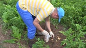olericulture : Peasant man pick harvested fresh potatoes to polythene bag in garden plantation. Static shot. Stock Footage