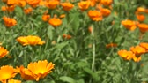 Marigold herb plant blooms move in wind in rural garden plantation. 4K