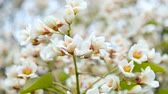 despertar : blossoming white small flowers on a tree