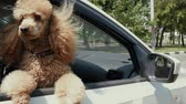 poodle : Funny dog ??looks out of a car window. Slow motion.