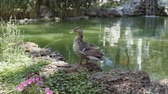 mere : Duck stand next to a pond or lake. Park river landscape. Stock Footage
