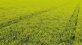 oil industry : Aerial video of drone flying across field of oilseed or rapeseed yellow flowers.