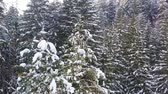 koni : Frozen trees and snow covered evergreen forest. Stok Video