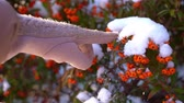 The sea buckthorn berries in the snow. A female hand knocks snow.