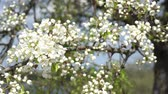 se movendo para cima : A branch of blooming apple tree on light spring wind. Close up of beautiful white flowers. Slow motion.