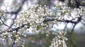 secouer : A branch of blooming apple tree on light spring wind. Close up of beautiful white flowers. Slow motion.