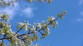 secouer : A branch of blooming apple tree on light spring wind over blue sky. Close up of beautiful white flowers. Slow motion. Vidéos Libres De Droits