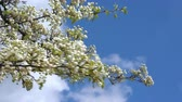 A branch of blooming apple tree on light spring wind over blue sky. Close up of beautiful white flowers. Стоковые видеозаписи