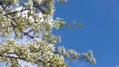 A branch of blooming apple tree on light spring wind over blue sky. Close up of beautiful white flowers. Slow motion. Стоковые видеозаписи