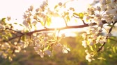 A branch of blooming apple tree on light spring wind at sunset. Close up of beautiful white flowers illuminated by evening sun. Slow motion.