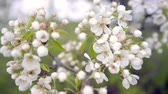 A branch of blooming apple tree on light spring wind. Close up of beautiful white flowers. Slow motion.