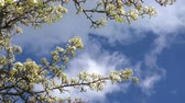 fleur de pommier : A branch of blooming apple tree on light spring wind over blue sky. Close up of beautiful white flowers. Vidéos Libres De Droits