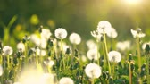 sacudindo : Dandelions on green sunny meadow. Summer concept. Stock Footage