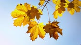 Sunny autumn maple leaves over blue sky