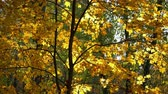 ahornbaum : Sunny maple tree in autumn park