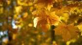 Sunny autumn maple leaves moving in wind Стоковые видеозаписи
