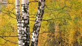 Bright birch tree in autumn park