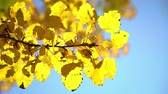Sunny autumn aspen leaves over blue sky Стоковые видеозаписи