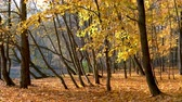 ahornbaum : Leaf fall in the bright autumn park Stock Footage