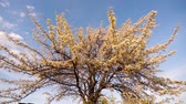 blühender baum : A blooming apple tree illuminated by evening sun over blue sky. Slow motion.