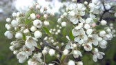 secouer : A branch of blooming apple tree on light spring wind. Close up of beautiful white flowers.