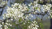 A branch of blooming apple tree on light spring wind. Close up of beautiful white flowers.