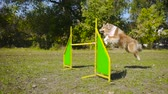 collie : collie dog jumping at barrier on agility training