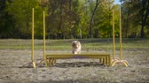 sheepdog : collie dog jumping at obstacle on agility training