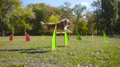 engedelmes : collie dog jumping at barrier on agility training